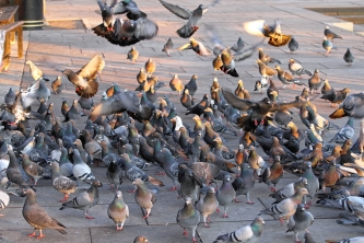 A Look at Pigeon-Related Diseases