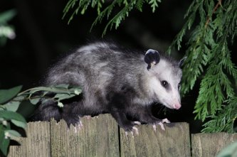 The Damage Caused by Opossums