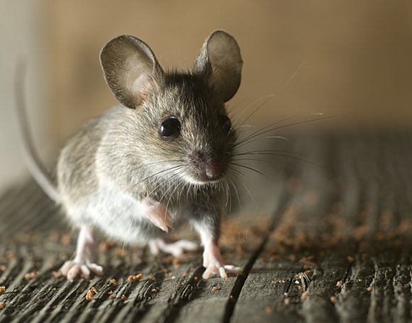 rodent service in pleasanton, ca