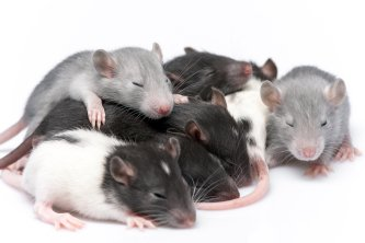 Tips for Deterring Rodents - Pleasanton