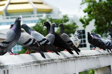 Why You Don't Want Pigeons Around Your House