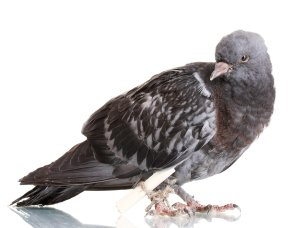 grey messenger pigeon