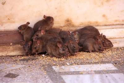 rodent control in san jose, ca